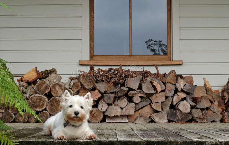Westie dog by a woodpile. Westie dog on a dirty old timber verandah by a woodpile. Photographed in New Zealand, NZ stock photography