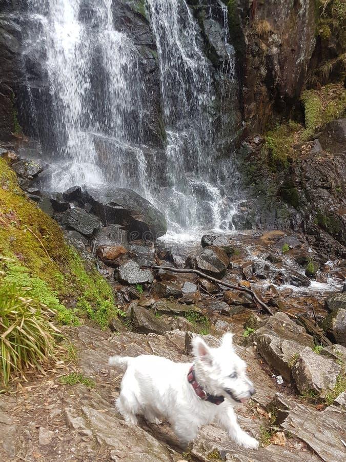 Westie-Hund in der Natur stockbilder