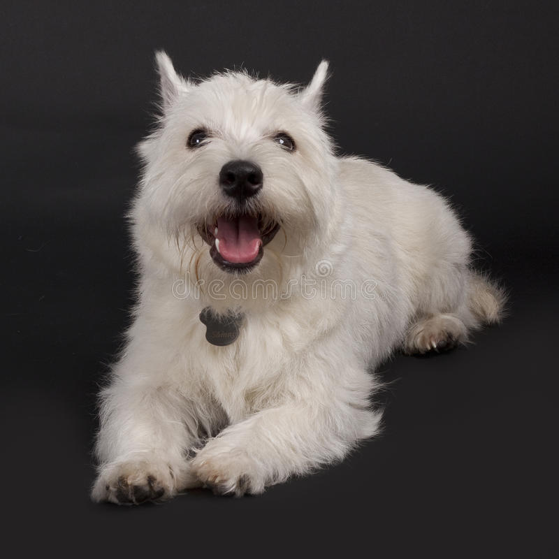 Westie with mouth open. Small westie with mouth open on a dark background stock images
