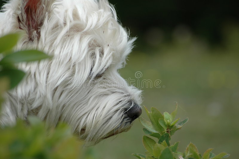 Westie na natureza fotos de stock