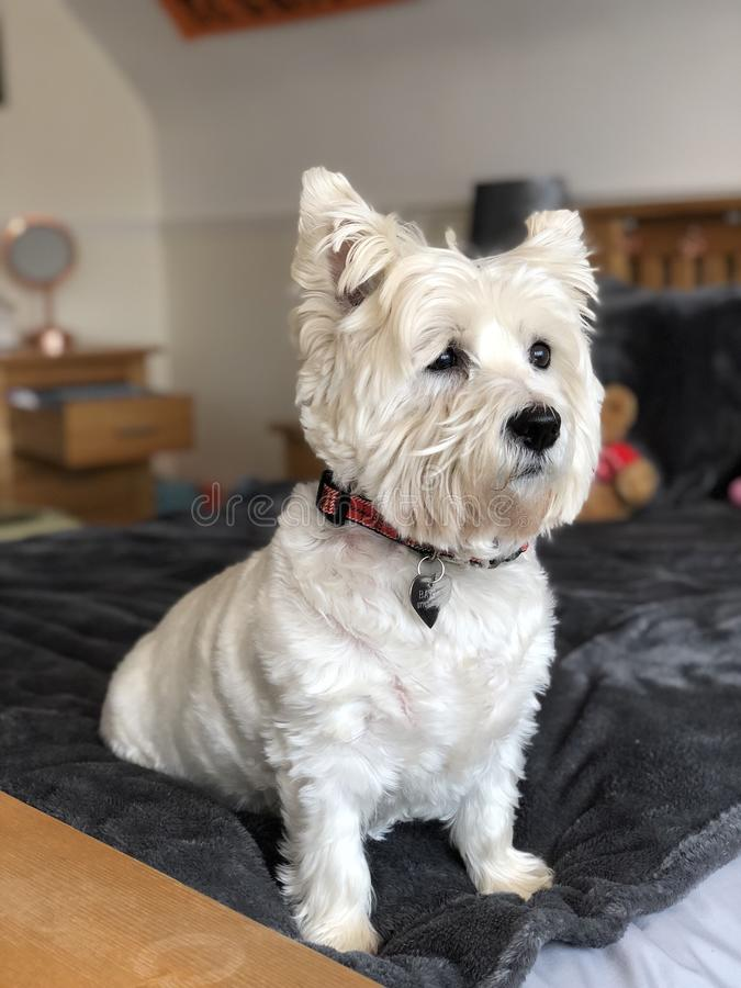 Westie. Portrait photography of a westie royalty free stock images
