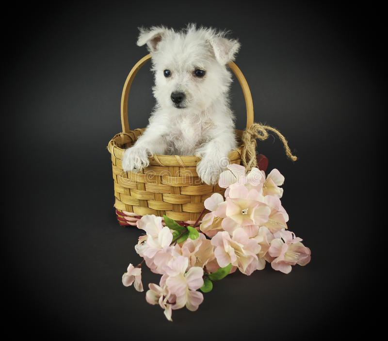 Westie Puppy. Sitting in a basket with pink flowers on a black background royalty free stock photography