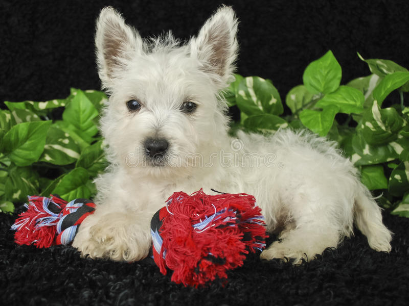 Westie Puppy. Laying with his doy toy on a black background stock images