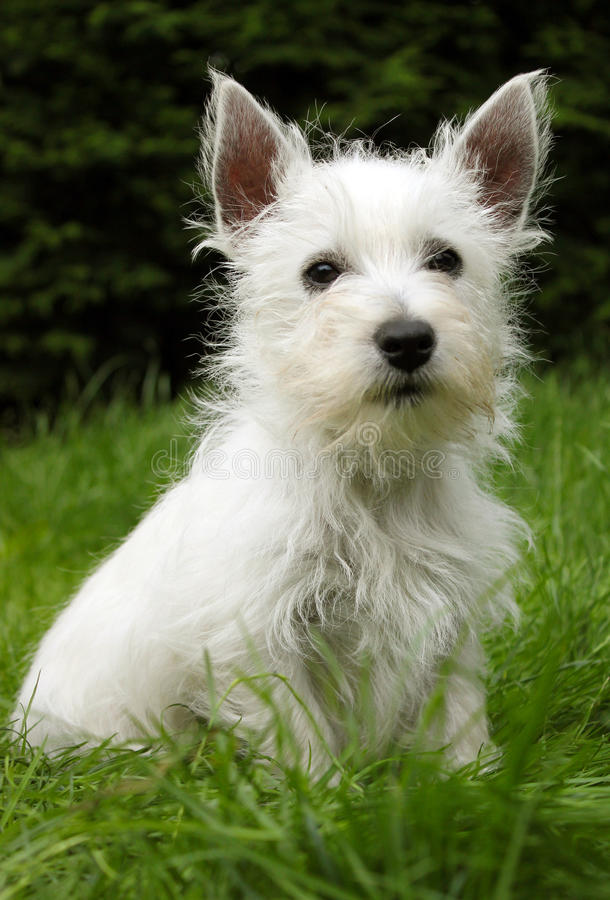 Westie puppy on grass. A portrait of a westie, west highland terrier puppy sitting on grass stock photography