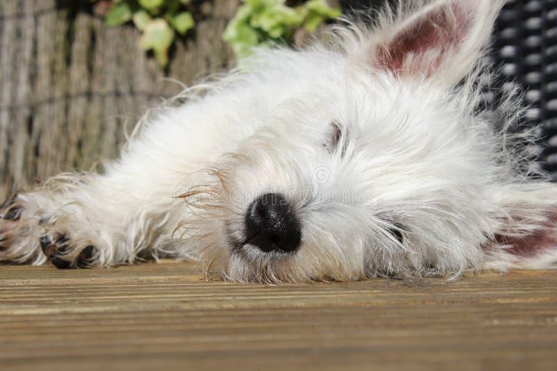 Westie puppy sleeping. A landscape of a westie, west highland terrier puppy sleeping stock photo
