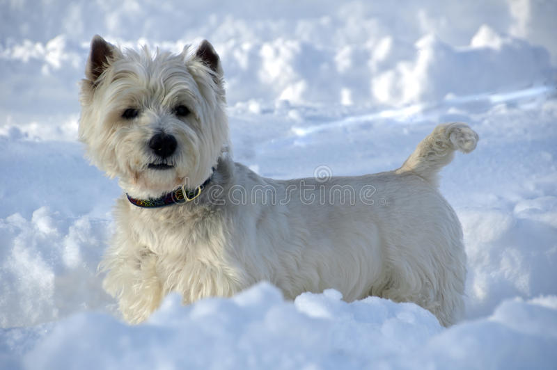 Westie in the snow. A Westie enjoys a sunny day in the snow after Snowmaggeddon in 2010 stock photography
