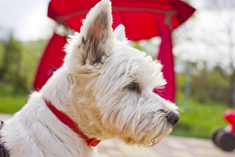 Westie-Terrier stockfotografie
