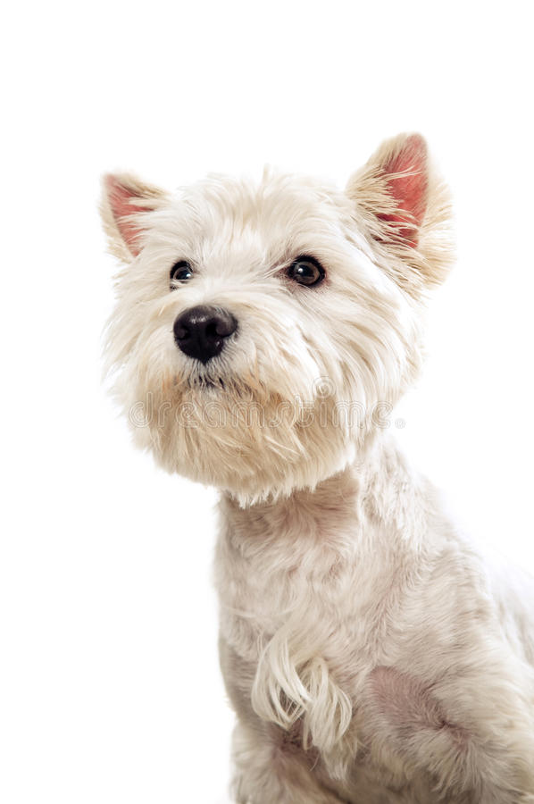 Westie terrier portrait. Isolated on white stock image