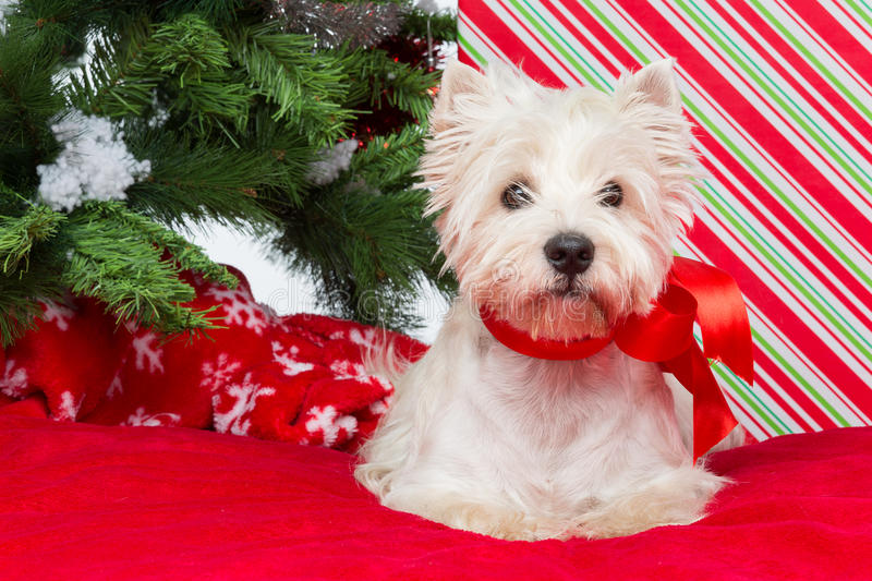 Download Westie Under New Year Tree Royalty Free Stock Photo - Image: 35820555