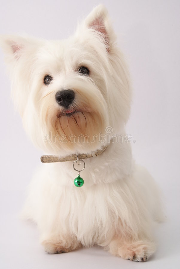 Westie (West Highland White Terrier)