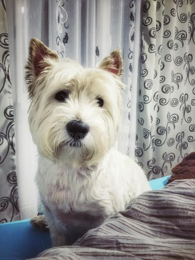 Westie. White westie dog whit the mustache stock images