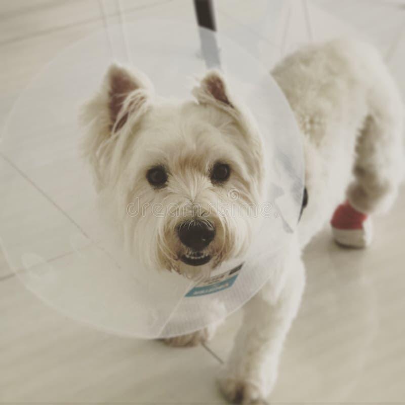 Westies Terrier photo libre de droits