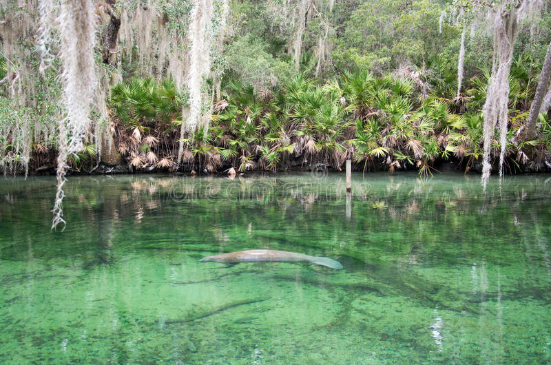 Westindisches Manatis, blauer Frühling, Florida, USA lizenzfreies stockbild