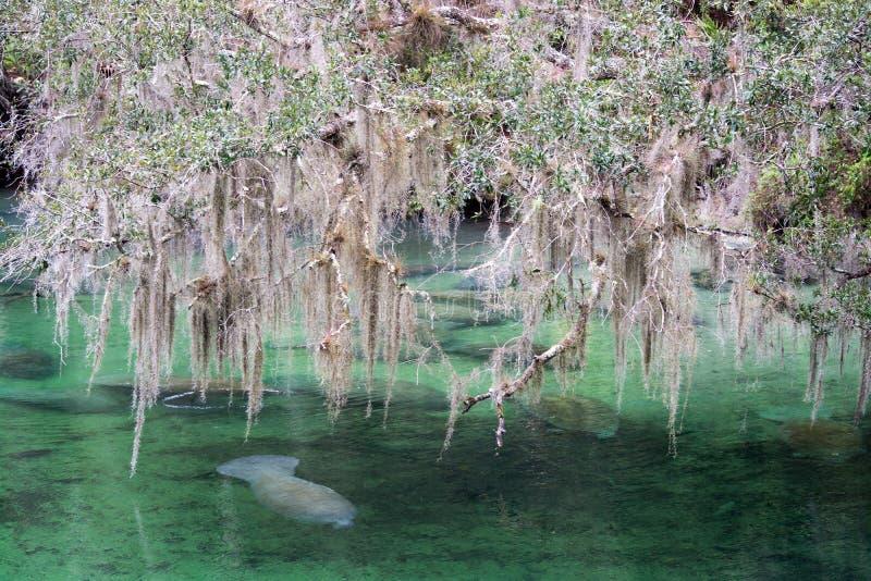 Westindisches Manatis, blauer Frühling, Florida, USA stockfotos