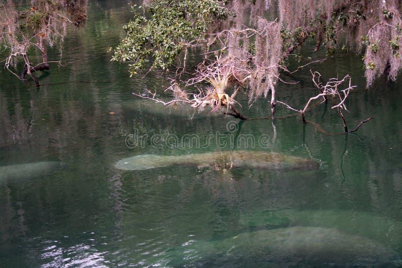 Westindisches Manatis, blauer Frühling, Florida, USA lizenzfreie stockfotografie