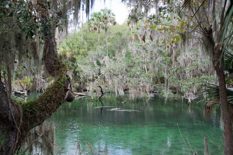 Westindisches Manatis, blauer Frühling, Florida, USA stockfotografie