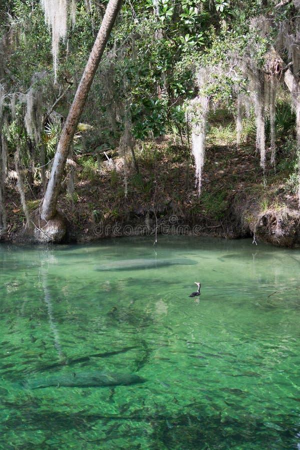 Westindisches Manatis, blauer Frühling, Florida, USA stockfoto