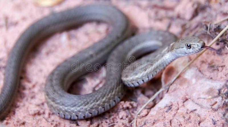 Westliche terrestrische Strumpfband-Schlange - Thamnophis elegans stockfotografie