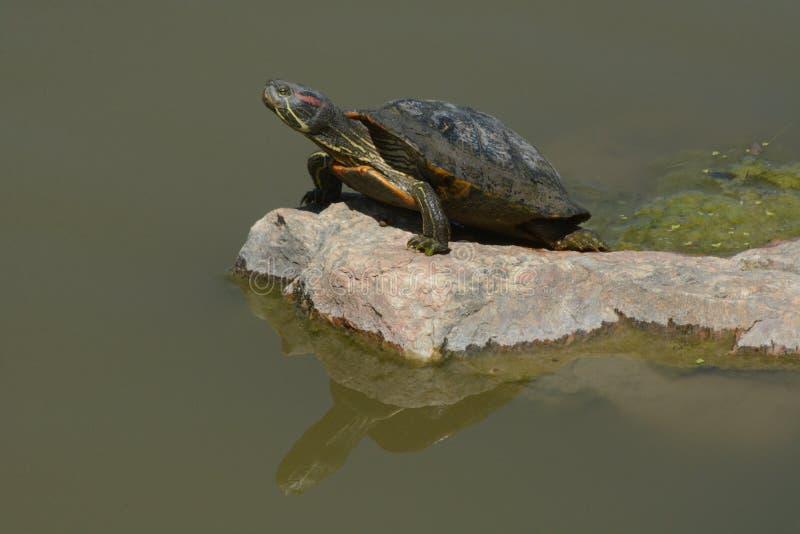 Westrn målade sköldpaddan arkivbilder