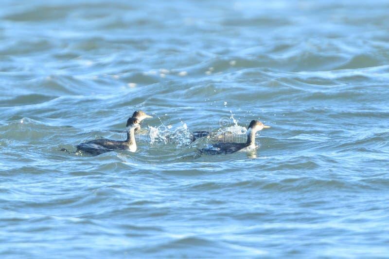 Westtaucher drei im Stauwasser lizenzfreie stockbilder