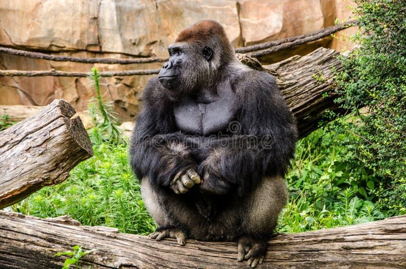 Westtiefland-Gorilla, der auf Klotz sitzt lizenzfreies stockbild