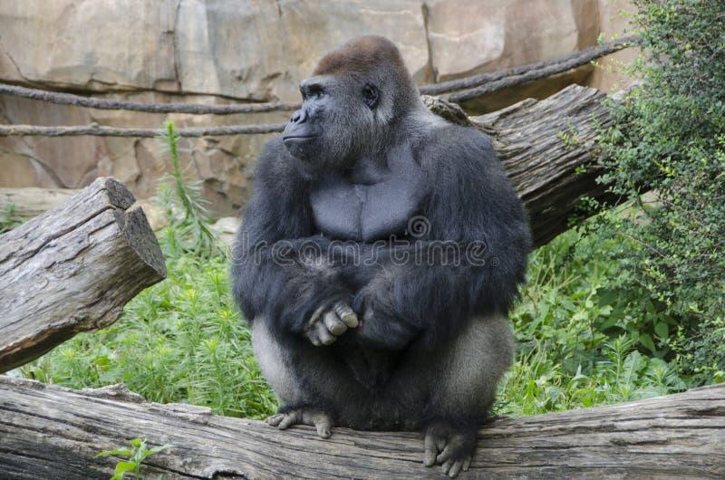 Westtiefland-Gorilla im Zoo stockfotografie