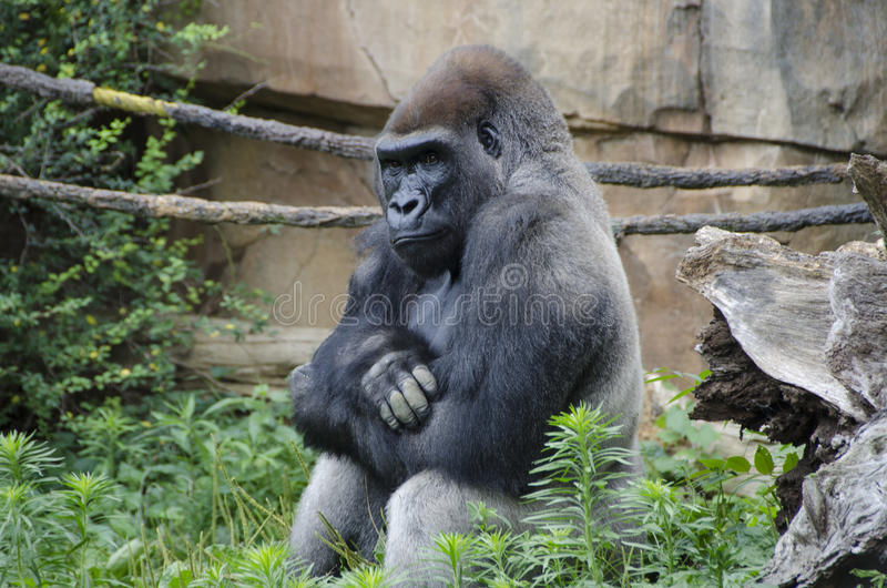Westtiefland-Gorilla im Zoo stockfotos