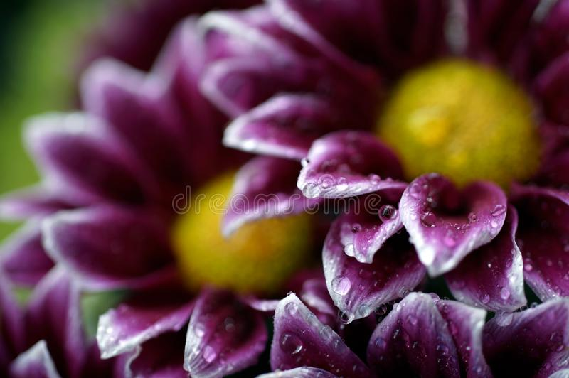 Wet aster petals in a bouquet royalty free stock image