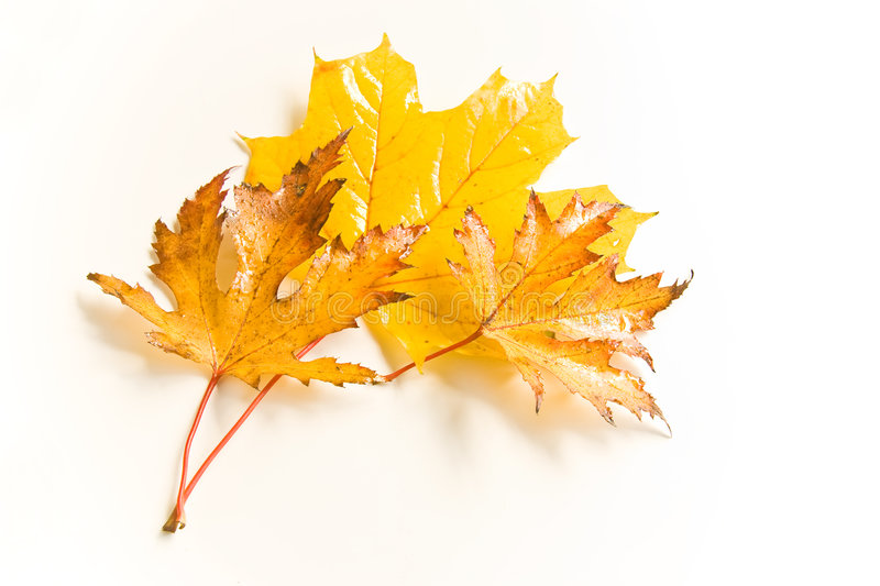 Wet autumn leaves. Wet and rainy autumn leaves in natural light stock photos
