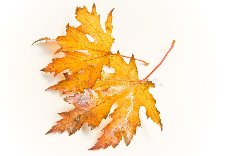 Wet autumn leaves. Wet and rainy autumn leaves in natural light stock photography