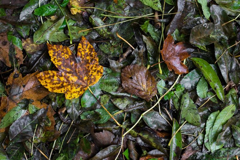 Wet autumn leaves in green, brown, red and yellow colours, with large maple leaf at left side, Austria stock photo