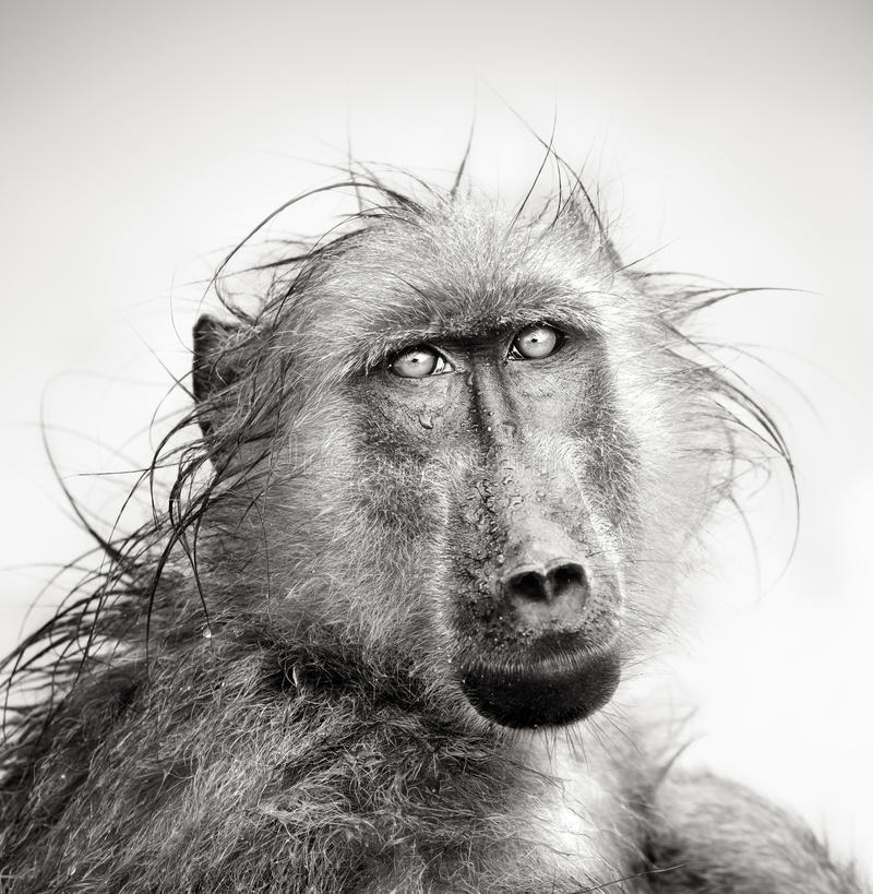 Free Wet Baboon Portrait Stock Images - 24185984