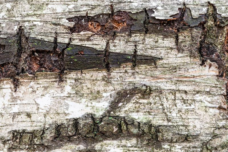 Wet bark on old trunk of birch tree close up stock photo