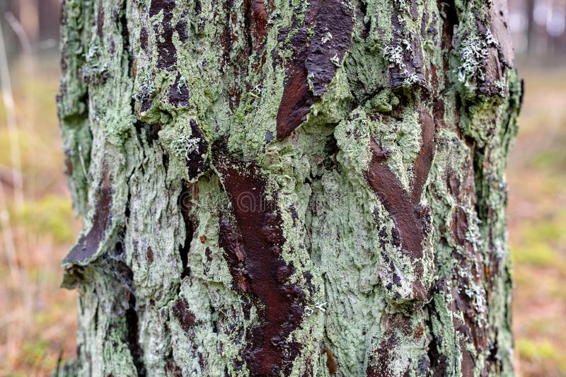 Wet bark of a pine tree. Pien-coniferous tree in the forest stock photography