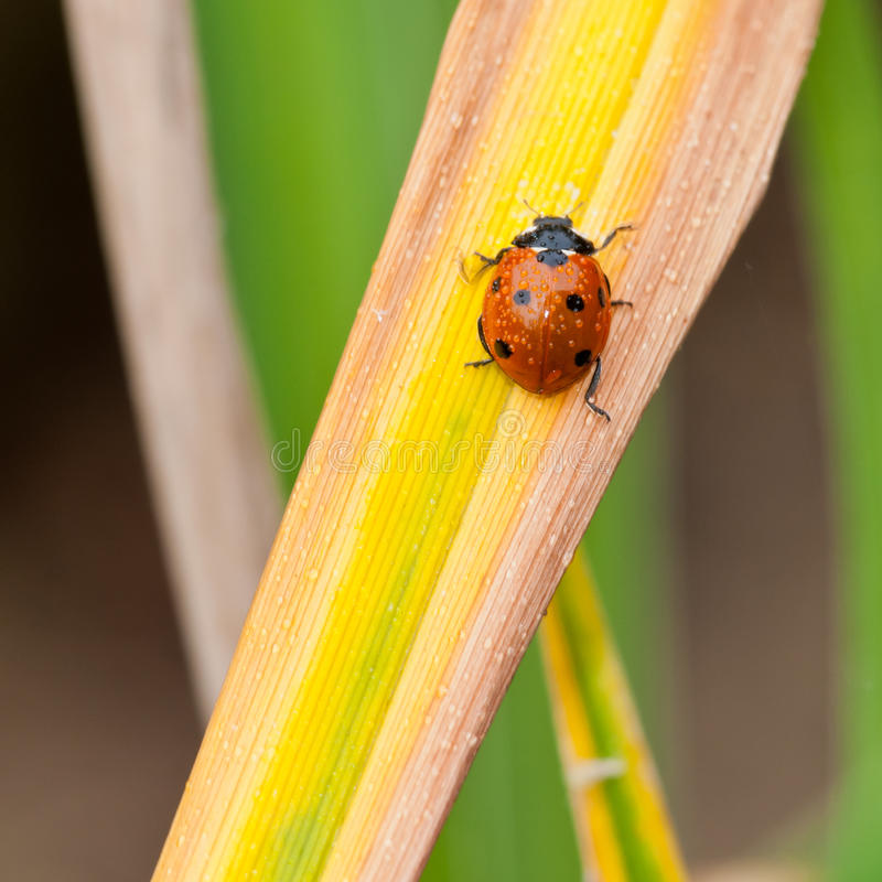 Download Wet Beetle stock photo. Image of spotted, fluid, leaf - 28044156