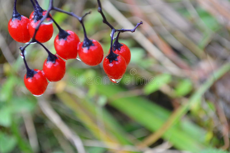 Wet berries royalty free stock images