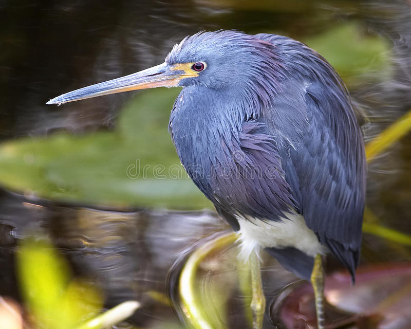 Wet Bird in the Everglades royalty free stock photography