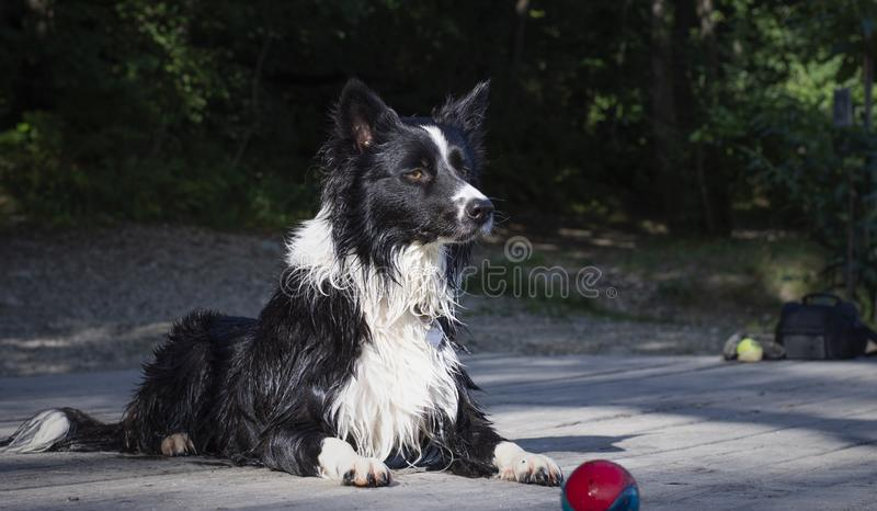 Wet border collie puppy while playing happy at the lake royalty free stock photos