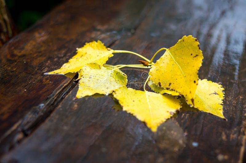 Wet branch with birch leaves on a wooden bench in the park on an royalty free stock images