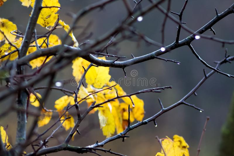 Wet branch of a tree with yellow autumn leaves. Rainy autumn day stock image