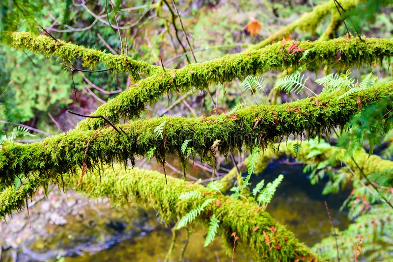 Branches covered in lush moss and ferns. Wet branches overgrown with lush green ferns and moss in rainforest in British Columbia, Canada royalty free stock photos