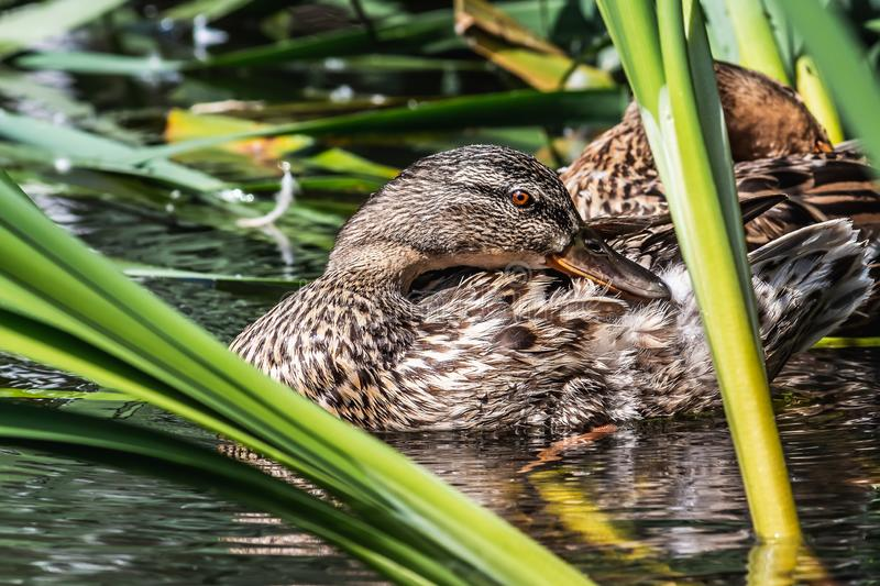 Wet brown adult duck with bright orange eyes cleans feathers in the pond among green reeds in the park in summer on the background. A wet brown adult duck with royalty free stock images