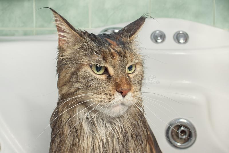 Wet cat in the bath royalty free stock images