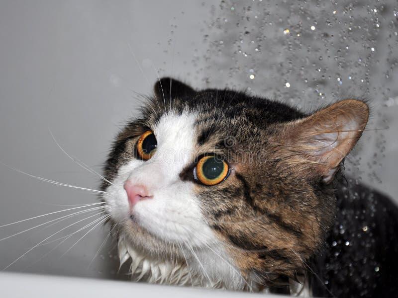 Wet cat. Funny cat. Cat bath. Cat Kurilian bobtail stock image