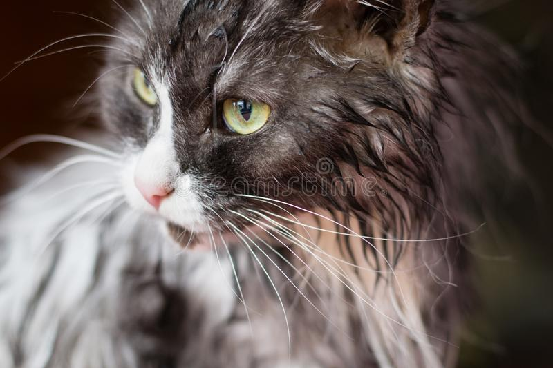 Wet cat. Wet grey cat after washing royalty free stock photos