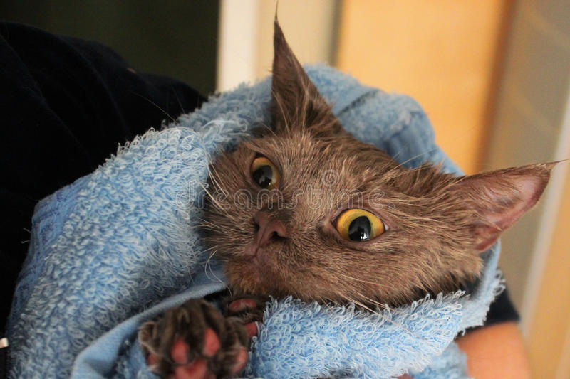 A wet cat wrapped in a towel. A wet adorable cat wrapped in a towel royalty free stock images