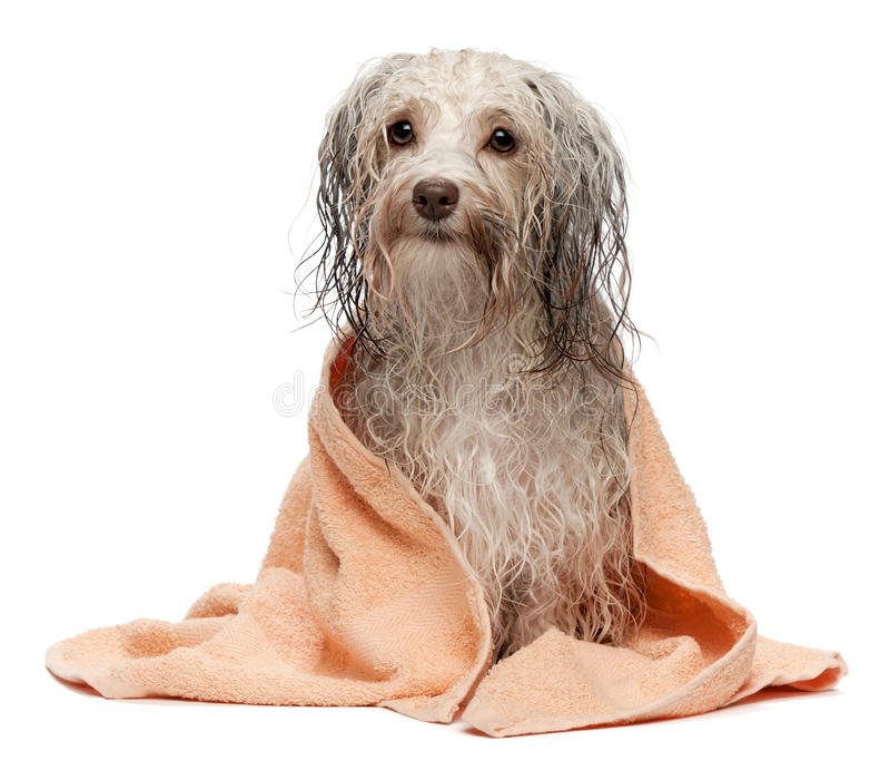 Wet chocolate havanese dog after bath stock image