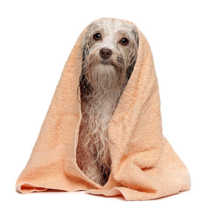 Download Wet Chocolate Havanese Dog After Bath Stock Image - Image: 19119875
