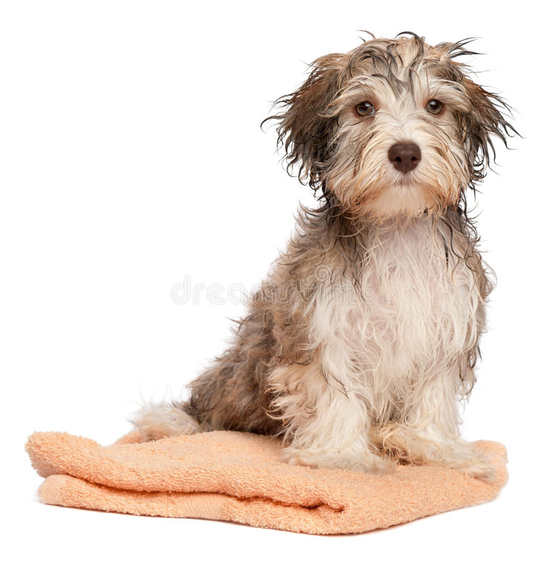Wet chocolate havanese puppy after bath royalty free stock photography