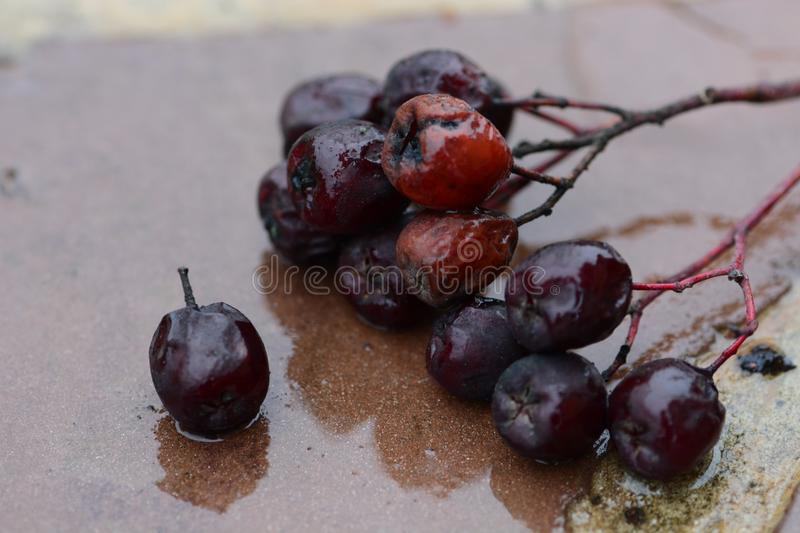 Wet chokeberry on the ground. Macro view royalty free stock photography